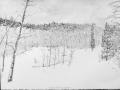 Snow Covered Aspen Grove-2